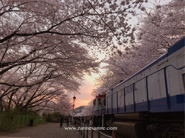 Travel From Busan To Jinhae Cherry Blossom Festival | Zanne Xanne's Travel Guide
