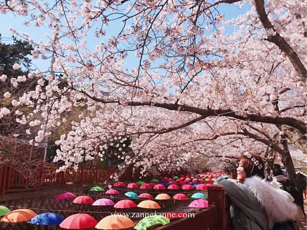 Jinhae Cherry Blossom Festival | Zanne Xanne's Travel Guide